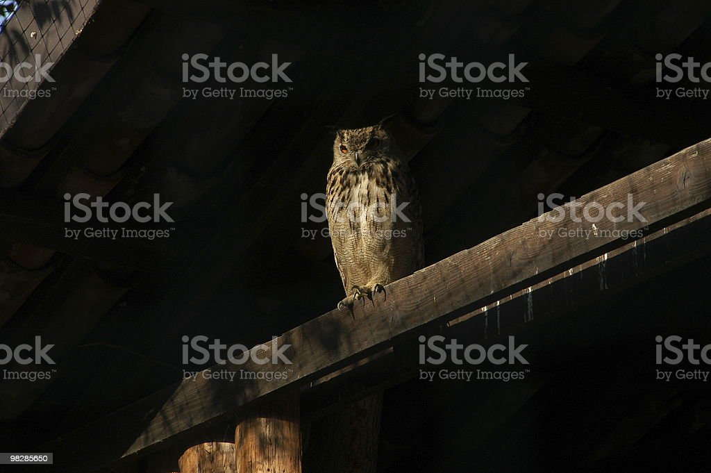 The Owl royalty-free stock photo