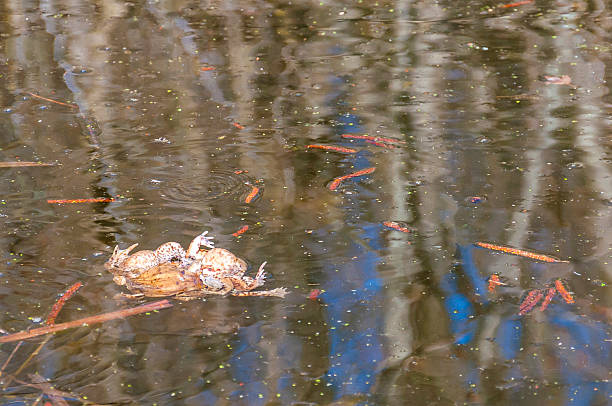 the pairing of common toads, bugo-bufo orgy in the water. - debauch stock pictures, royalty-free photos & images