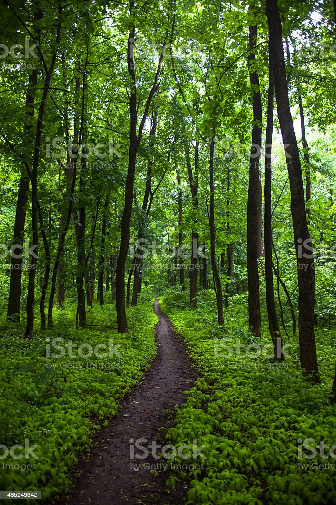 The path in a green summer forest stock photo