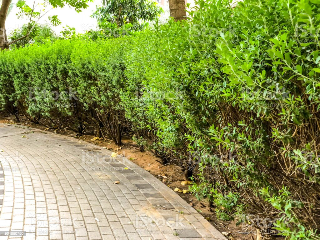 The path in the park is lined with stone tiles, next to blossoming bushes royalty-free stock photo