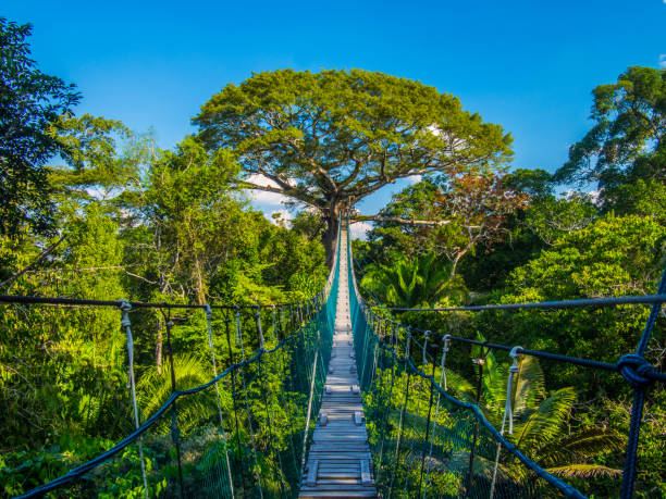 The path to mother earth, on a high suspended bridge in an Amazonian Canopy, Peru Canopy adventure in the Peruvian Amazon, in the Tambopata natural reserve. From the highs of the canopy there were magnifique views of the rainforest. amazon region stock pictures, royalty-free photos & images