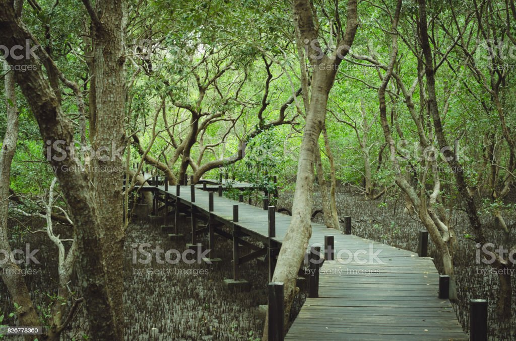The pathway walk through the mangrove forest. stock photo