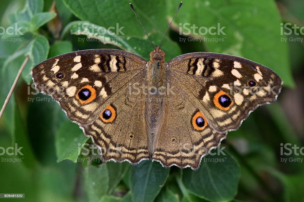 The pattern similar to the eyes on the butterfly wing stock photo