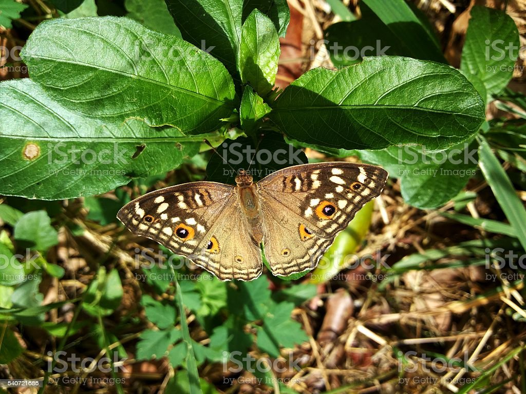 The pattern similar to the eyes on the wings the butterfly stock photo