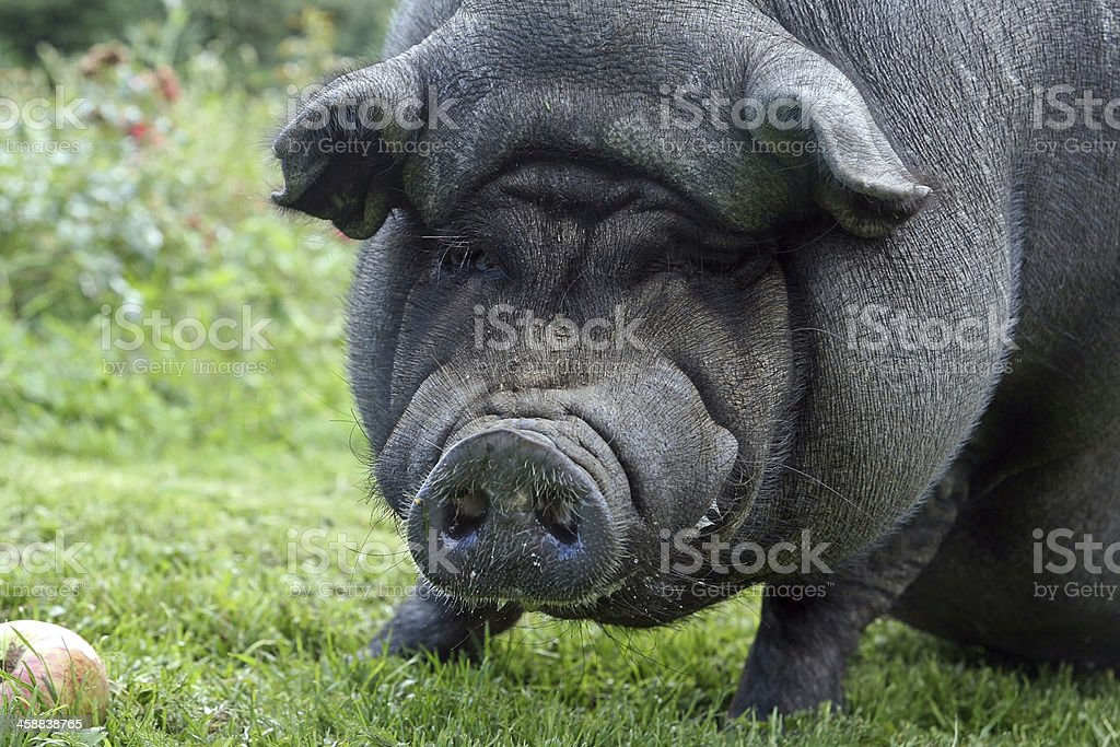 the paunch pig stock photo