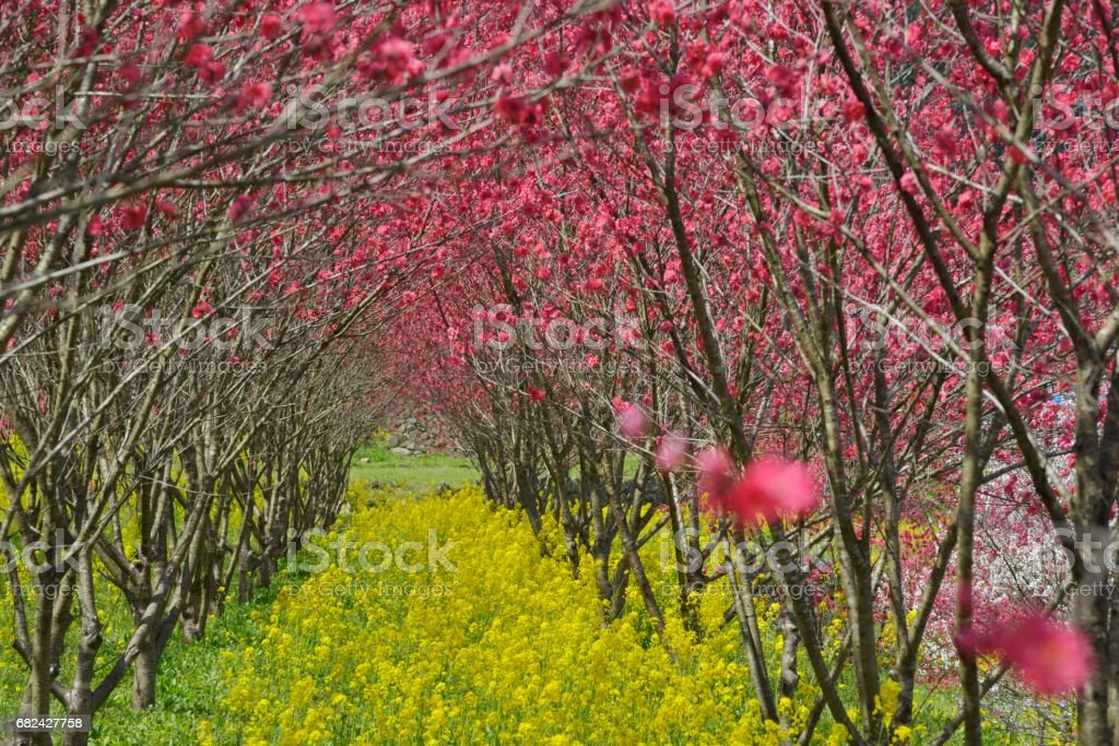 The Peach Blossom Festival (Onan, Ochi, Shimane Prefecture, Japan) royalty-free stock photo