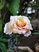 The rose has soft peach color. It is suitable for your wallpaper.
