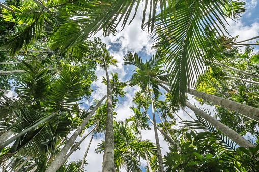 Foto de O Pico De Betel Palm Ares e mais fotos de stock de Agricultura