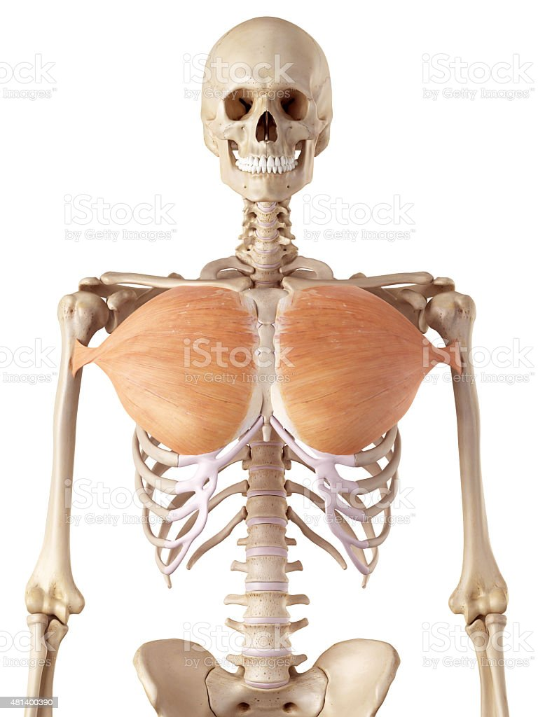 the pectoralis major stock photo