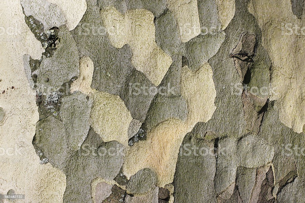 Mottled textured motley colours in bark of London plane royalty-free stock photo