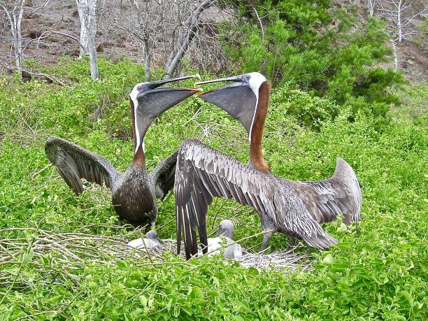 the pelican family - mcdermp stock pictures, royalty-free photos & images