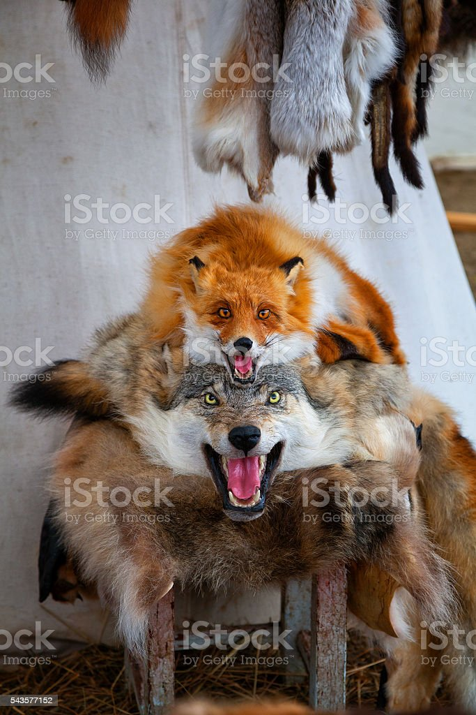 the pelt of a dead wolf and a Fox for sale stock photo