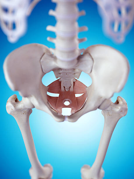 the pelvic floor muscles stock photo