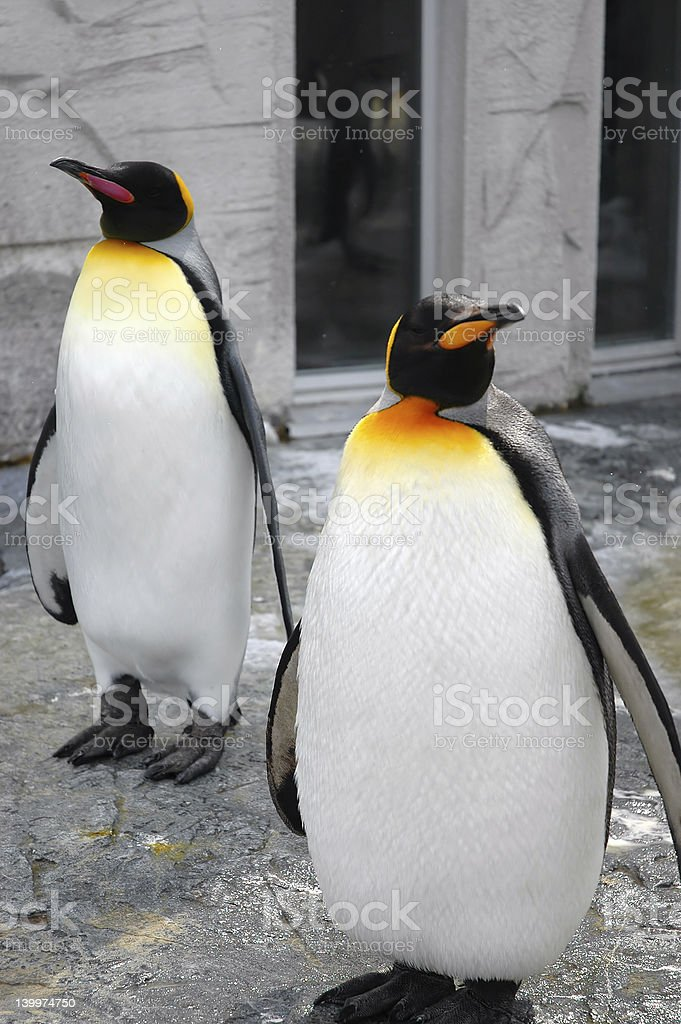 The penguins royalty-free stock photo