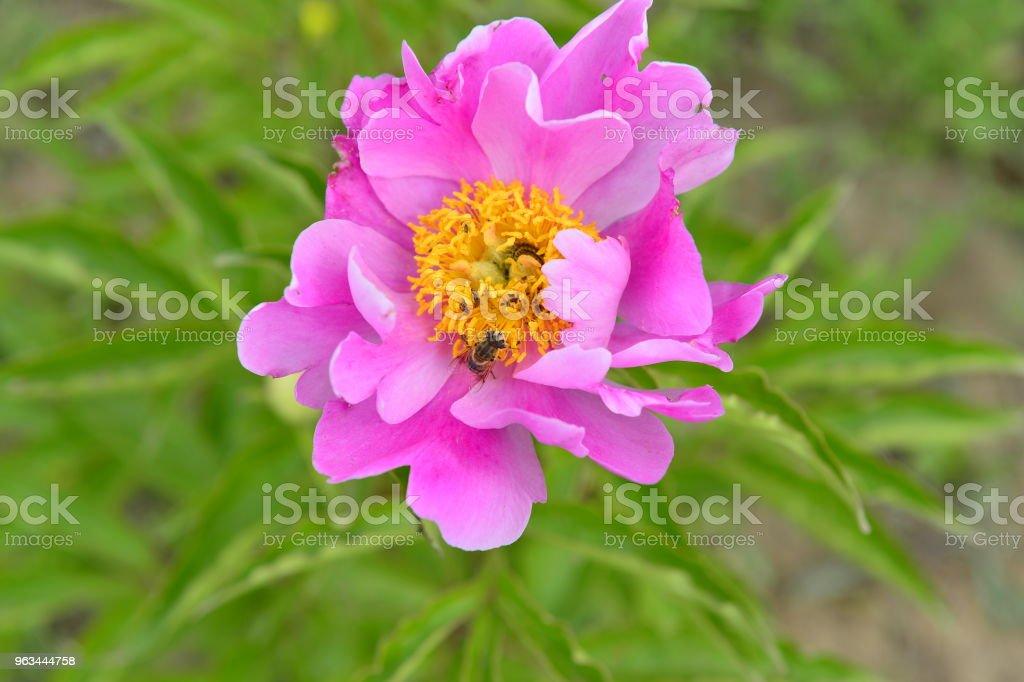Parkta şakayık - Royalty-free Ağaç Çiçeği Stok görsel