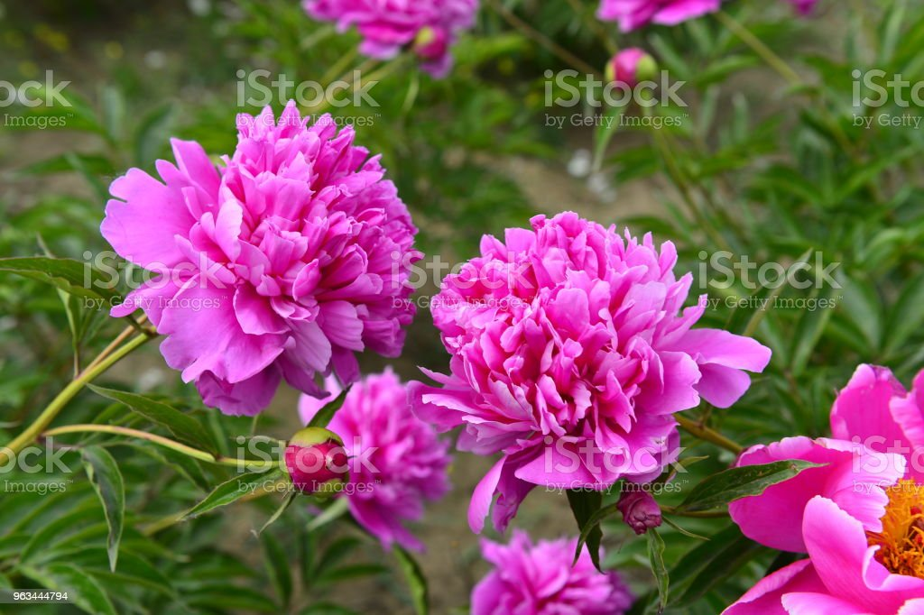 Pionen i parken - Royaltyfri Blomma Bildbanksbilder