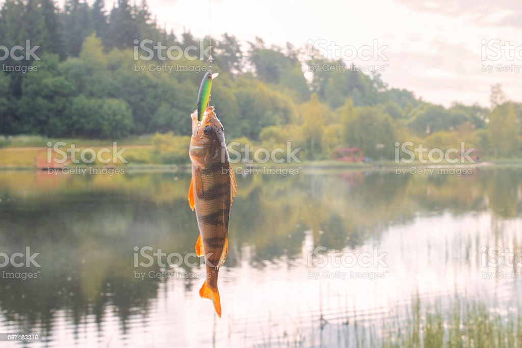 The perch caught on a bait. Fishing on the river. stock photo