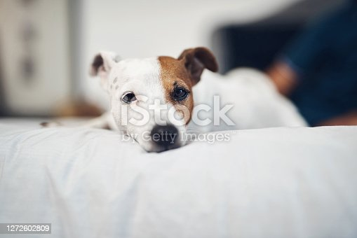 Shot of an adorable dog relaxing on a bed at home