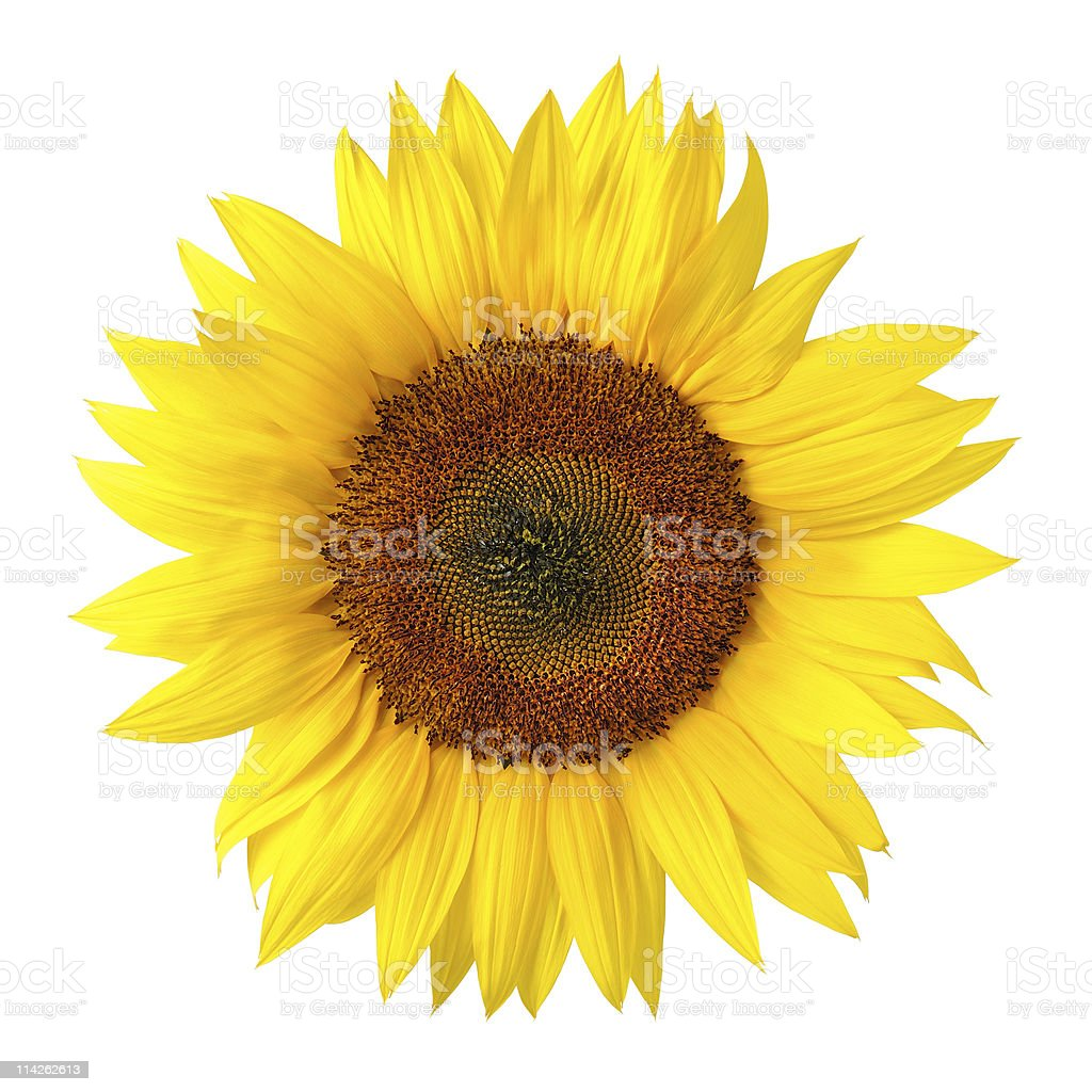 The perfect sunflower on white stock photo