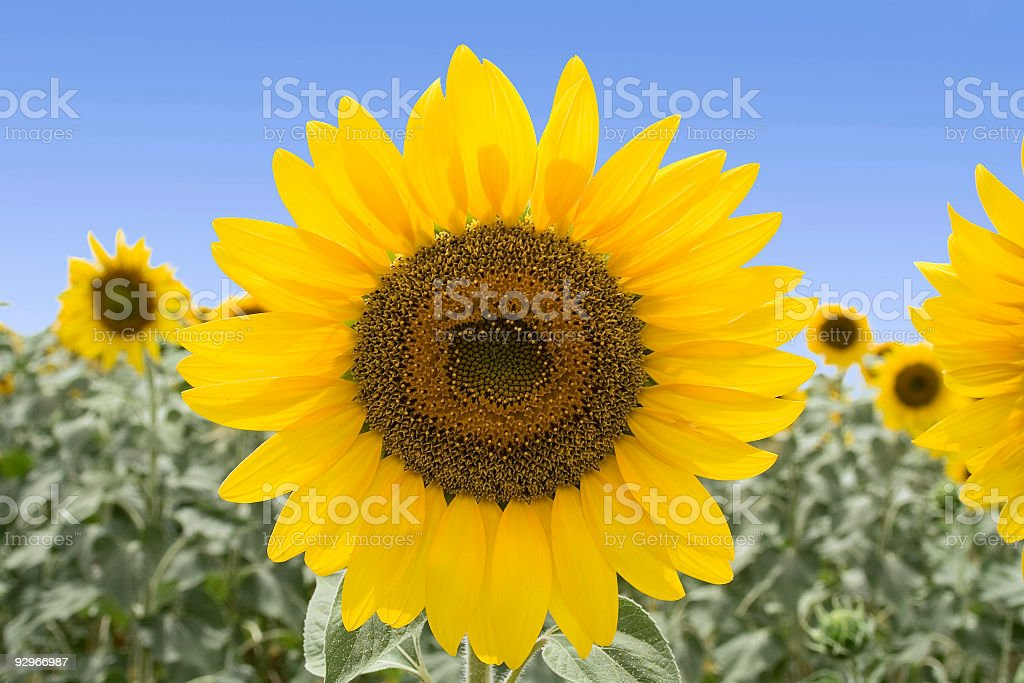 The Perfect Sunflower royalty-free stock photo