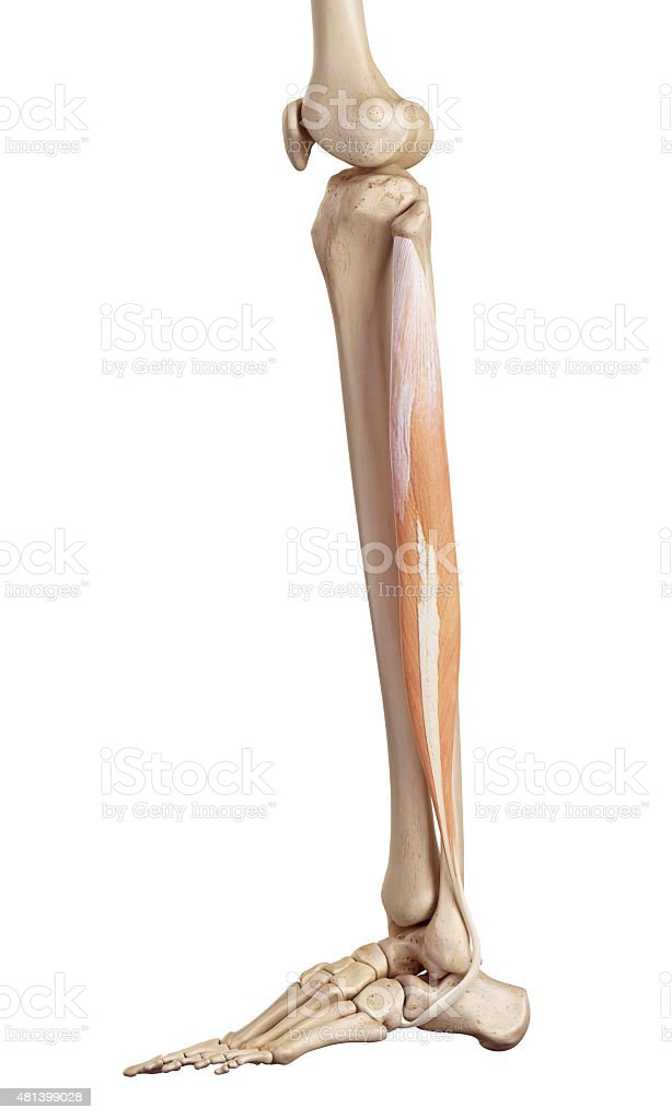 The peroneus longus stock photo