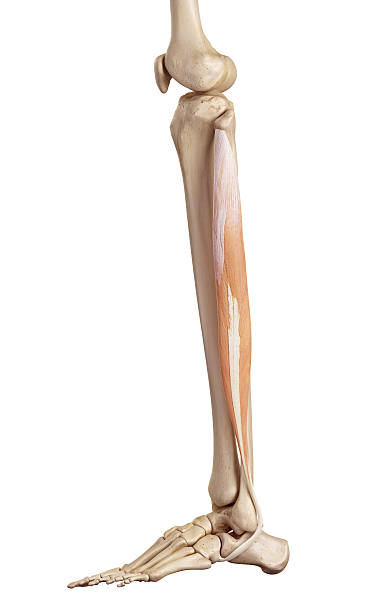 Royalty Free Fibularis Longus Muscle Pictures, Images and Stock ...