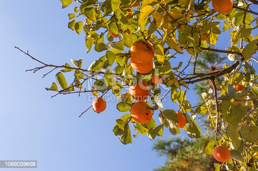 The persimmon is ripe on the tree.