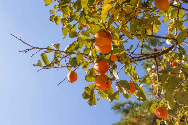 the persimmon is ripe on the tree. - diospiro imagens e fotografias de stock