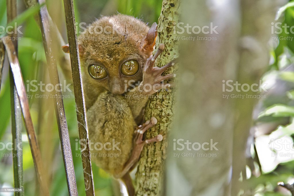 The Philippine Tarsier royalty-free stock photo