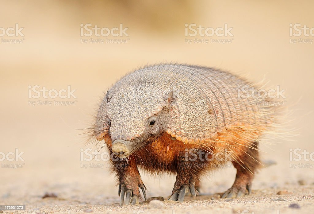 The Pichi or Dwarf Armadillo stock photo