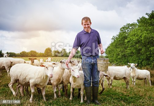 istock The pied piper of sheep 887311968