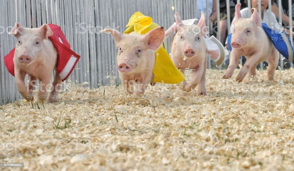 The pig race is on stock photo