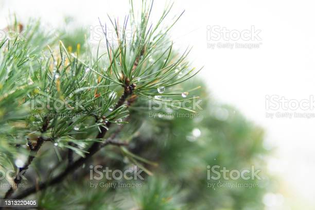 Photo of The pine needles with raindrops hanging after the rain