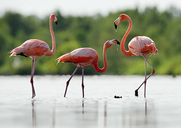 The pink Caribbean flamingo drink fresh water. stock photo