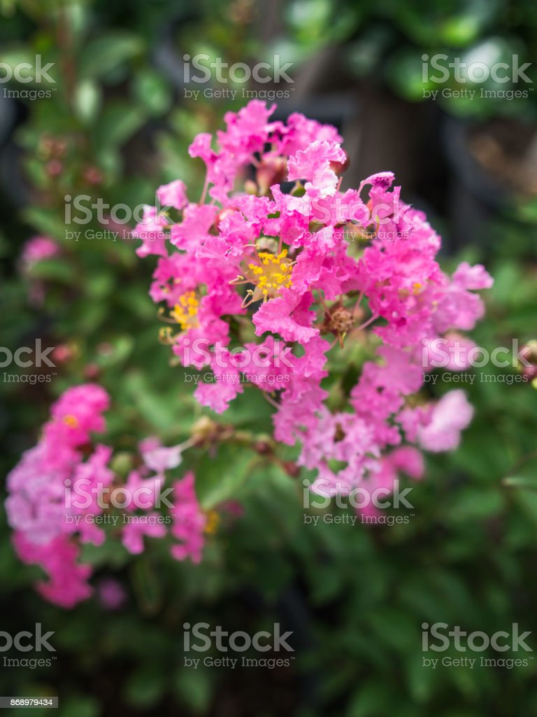 The Pink Crape Myrtle Flowers Blooming stock photo