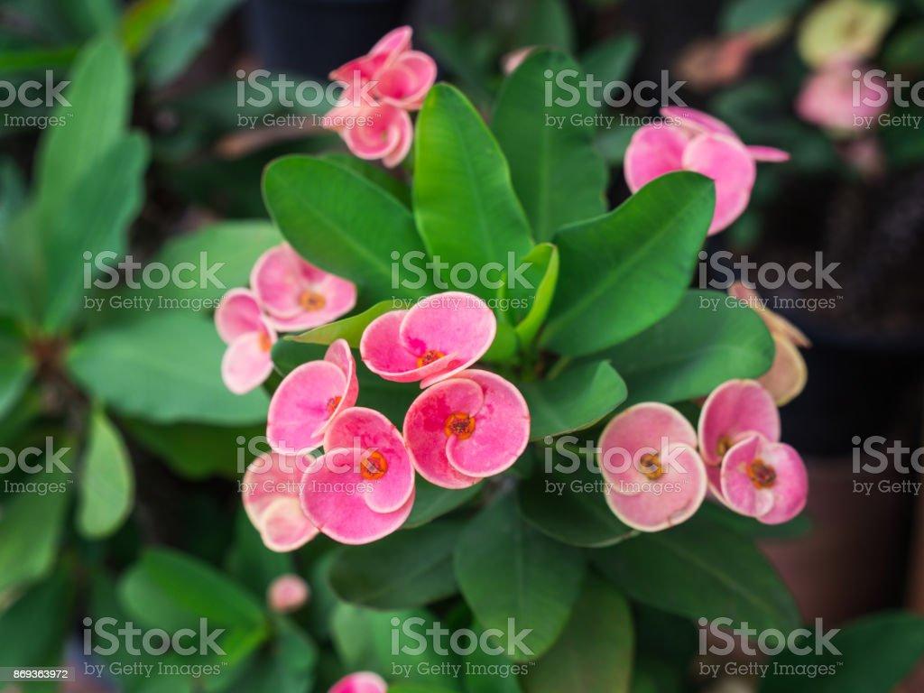 The Pink Euphorbia milii Flowers stock photo