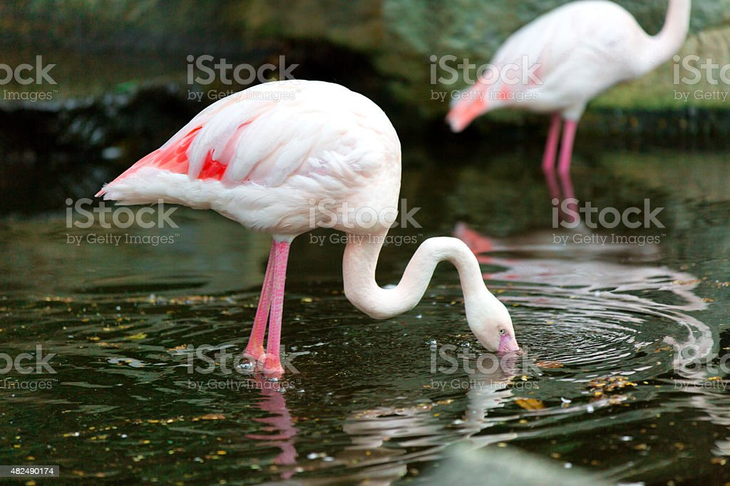 The pink flamingo  looks for a forage in water stock photo