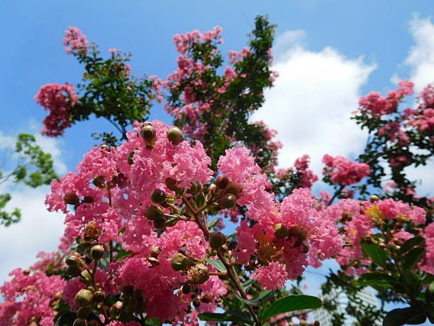 The pink flowers of crape myrtle under the blue sky – Foto