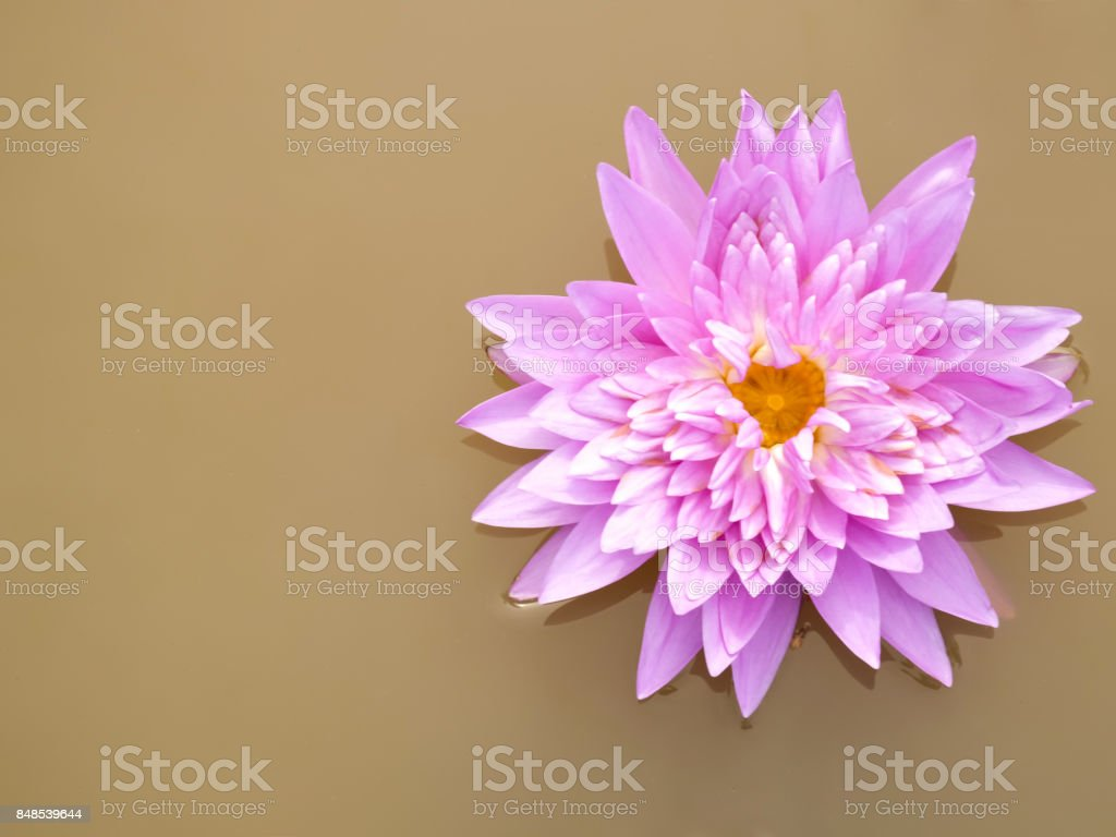The pink lotus in brown water. stock photo