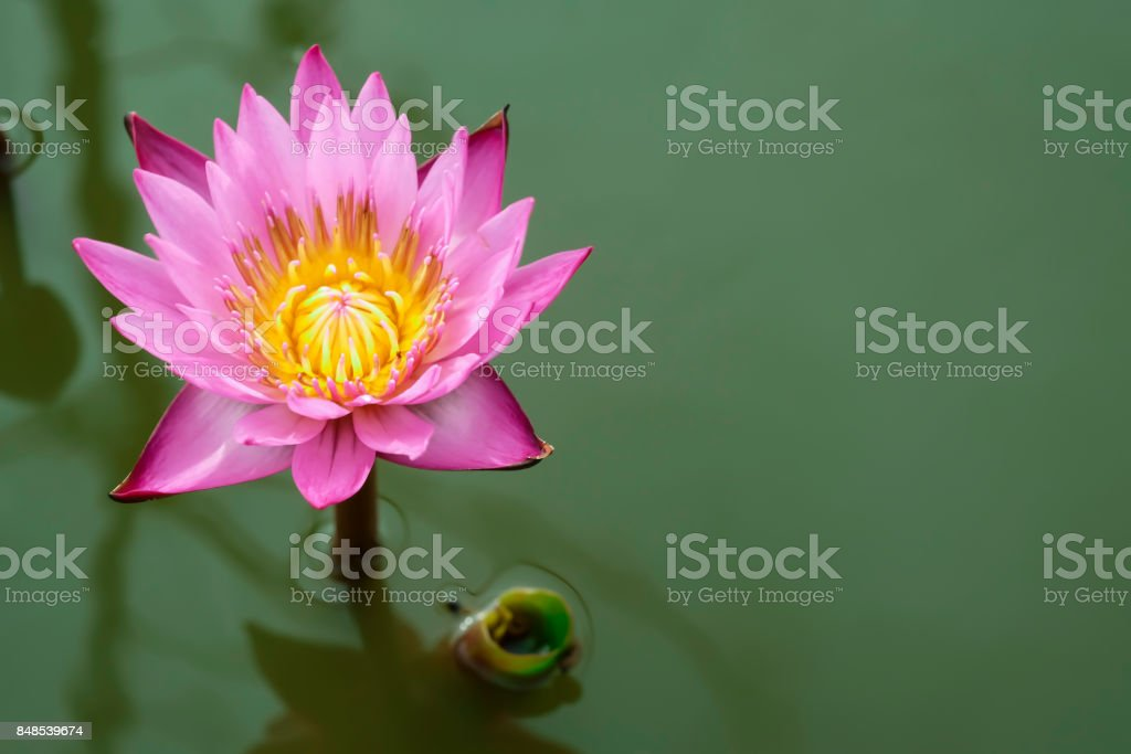 The pink lotus in green pool. stock photo