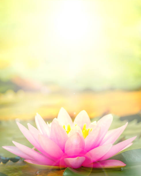 The pink lotus that took a beautiful morning sun back. The pink lotus that took a beautiful morning sun back. lotus water lily stock pictures, royalty-free photos & images