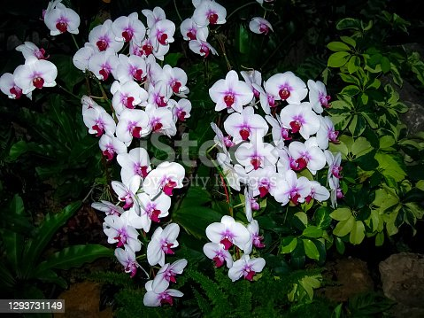 The pink orchid phalaenopsis on green leaves background