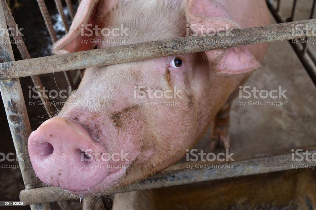 Bir kafes içinde pembe domuz stok fotoğrafı