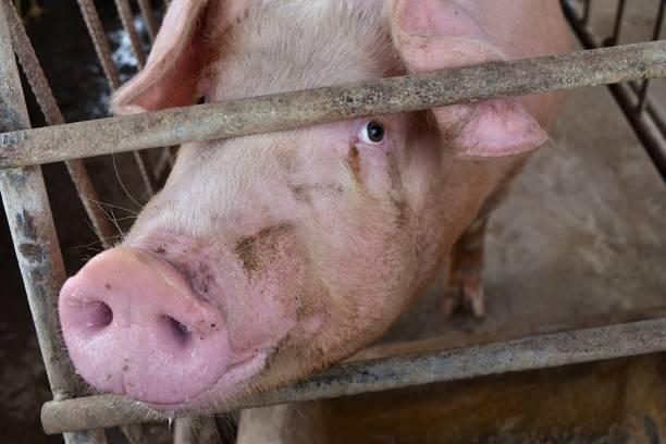 the pink pig in a cage - scrofa foto e immagini stock