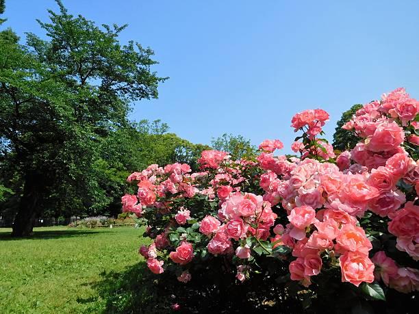 Das rosafarbene stieg Blumen im park unter Blauer Himmel – Foto