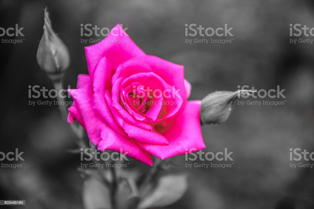 The Pink Rose stock photo