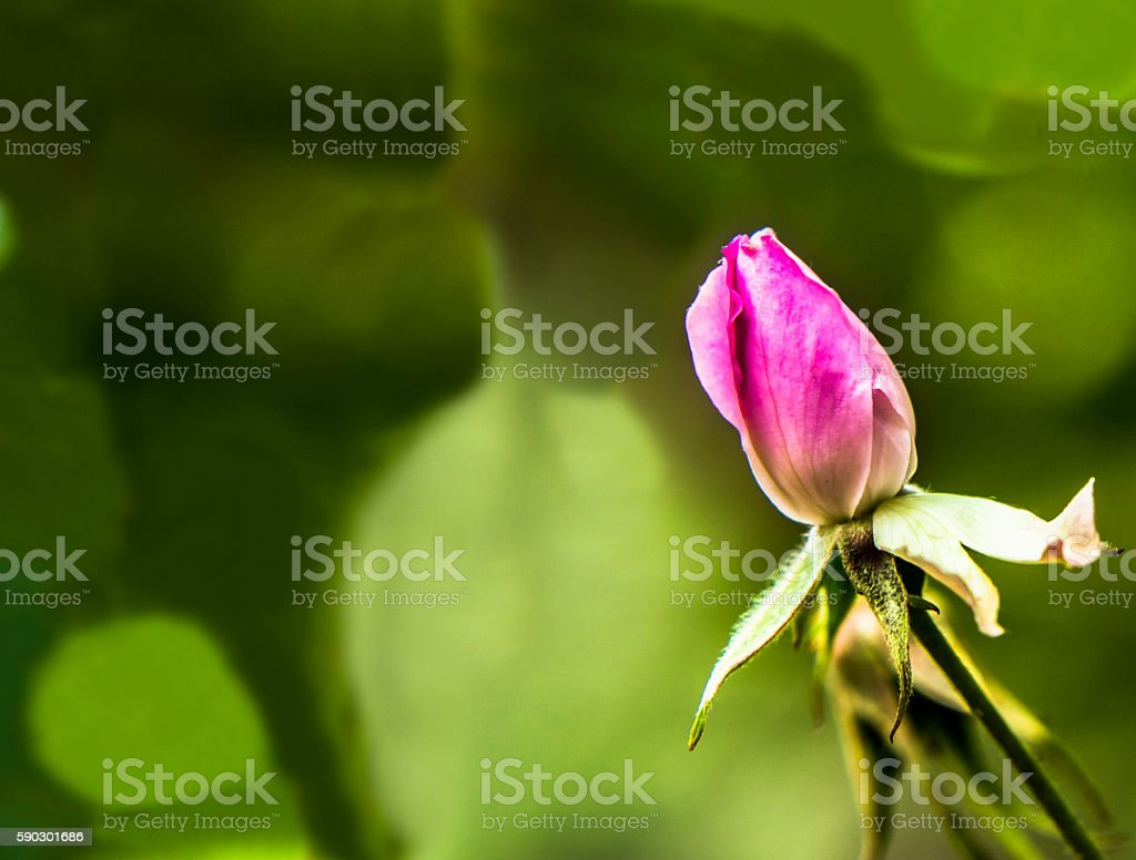 The pink rose,with a green background Стоковые фото Стоковая фотография