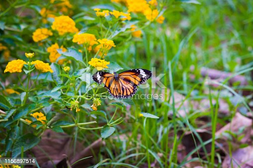 Beautiful Portrait of a The Plain Tiger Butterfly  sitting on the flowers in its natural habitat during Spring