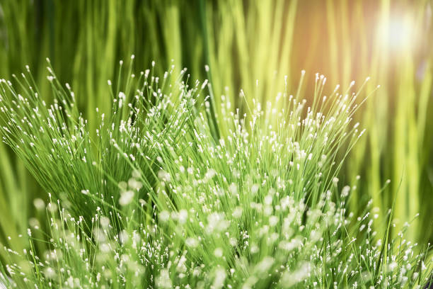 The plant of grass featuring cyperaceae bush. stock photo