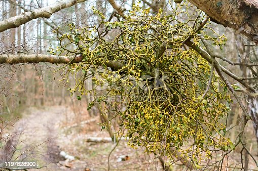 mistletoe on a birch, the plant parasite mistletoe Bush